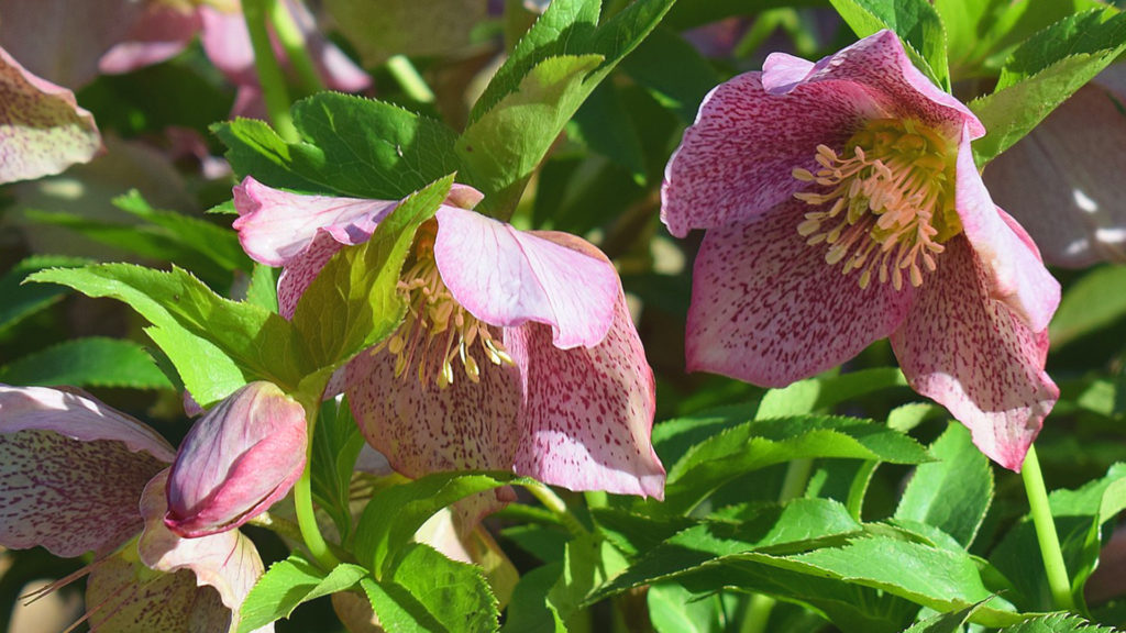 Lenten Rose from Volunteer Gardener
